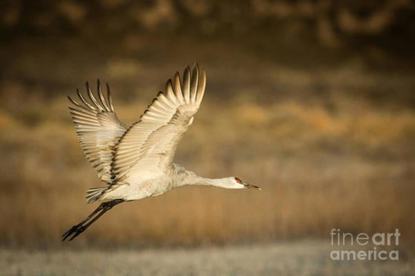 Photograph - Sandhill Crane by Patti Schulze