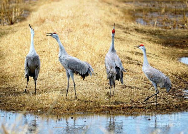 Squawk Photograph - Sandhill Crane Quartet by Carol Groenen