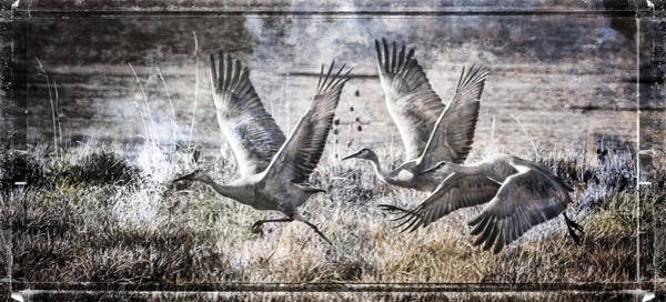 Photograph - Sandhill Crane Runway  by Wes and Dotty Weber