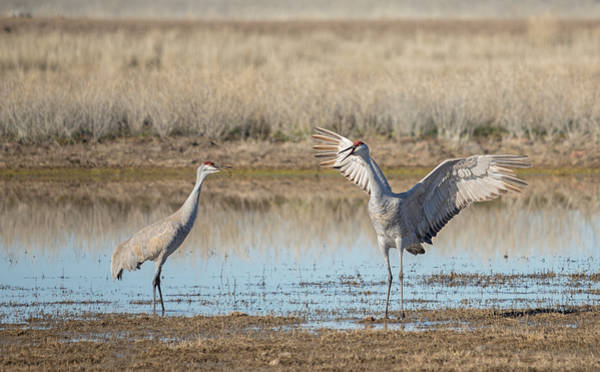 Photograph - Sandhill Crane Showing Off by Loree Johnson