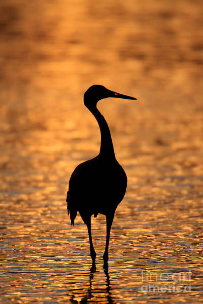 Photograph - Sandhill Crane Sunset Silhouette I by Clarence Holmes