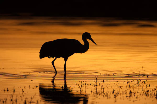 Photograph - Sandhill Crane Sunset Silhouette II by Clarence Holmes