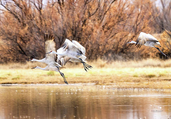 Photograph - Sandhill Crane Take-off by Judi Dressler