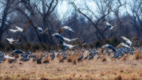 Photograph - Sandhill Crane Taking Flight by Edward Peterson