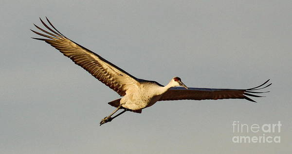 Wall Art - Photograph - Sandhill Crane Wingspan by Tom Cheatham