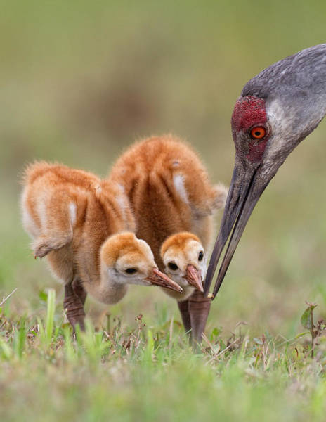 Chick Photograph - Sandhill Crane With Chicks by Alfred Forns