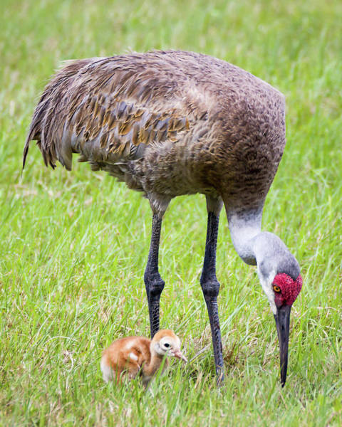 Photograph - Sandhill Crane With Colt by Dawn Currie