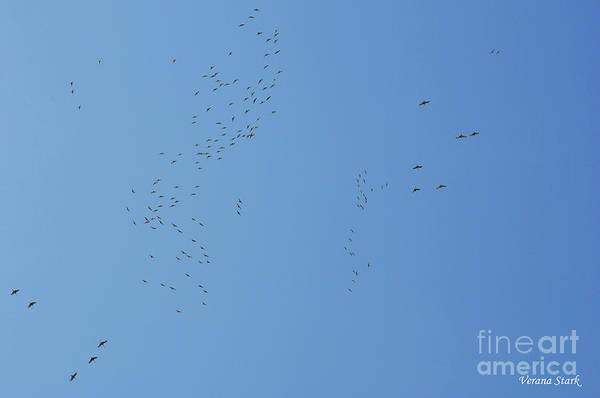Wall Art - Photograph - Sandhill Cranes 1 by Verana Stark