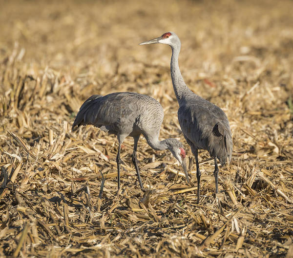 Photograph - Sandhill Cranes  2015-1 by Thomas Young