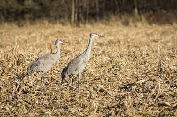 Photograph - Sandhill Cranes  2015-2 by Thomas Young