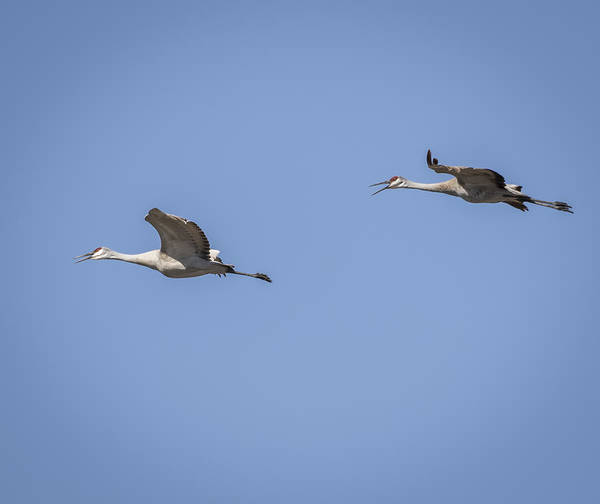 Photograph - Sandhill Cranes 2015-3 by Thomas Young