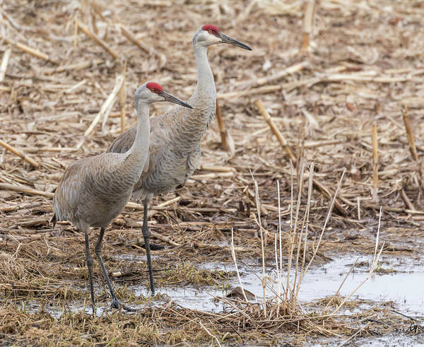 Photograph - Sandhill Cranes 2018-1 by Thomas Young