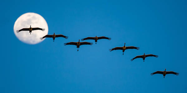 Photograph - Sandhill Cranes And Full Moon by Jeff Phillippi