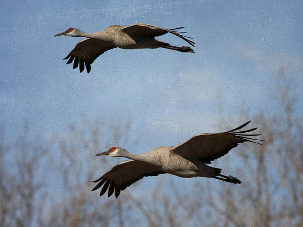 Photograph - Sandhill Cranes Flight by Charles McKelroy