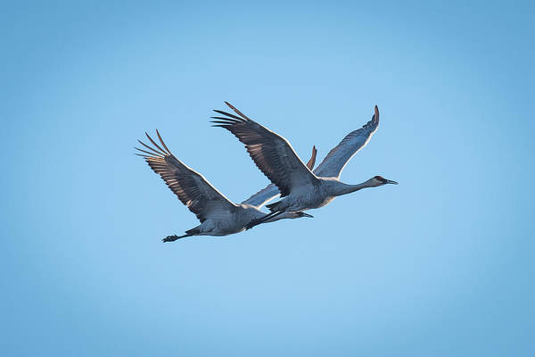 Wall Art - Photograph - Sandhill Cranes Flying by Paul Freidlund