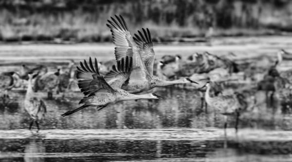 Wall Art - Photograph - Sandhill Cranes In Flight - Black And White by SharaLee Art