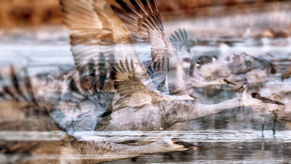 Wall Art - Photograph - Sandhill Cranes In Flight - Double Exposure by SharaLee Art