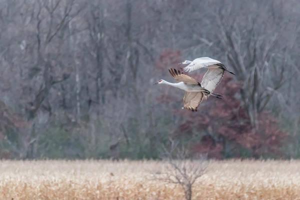 Photograph - Sandhill Cranes  In Flight Over Corn Field by Patti Deters