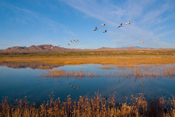 Migrate Photograph - Sandhill Cranes In Flight by Panoramic Images