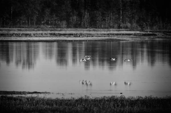 Photograph - Sandhill Cranes Necedah 2015-2 by Thomas Young