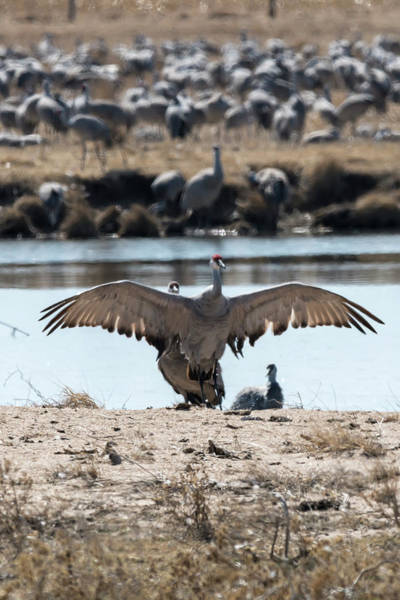 Photograph - Sandhill Cranes On Bank by Dan Friend