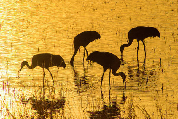 Wall Art - Photograph - Sandhill Cranes On Golden Pond by Judi Dressler