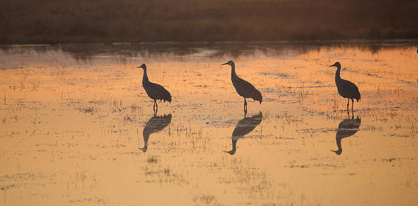 Photograph - Sandhill Cranes Reflections by Jean Clark