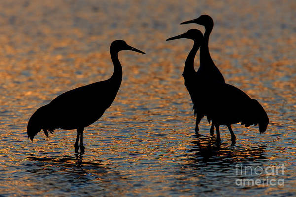 Photograph - Sandhill Cranes Sunset Silhouettes II by Clarence Holmes