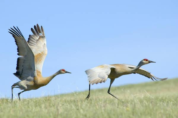 Sandhill Cranes Taking Flight Art Print