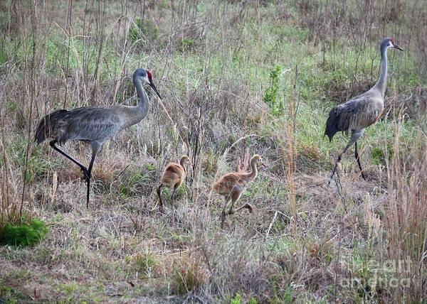The Crane Photograph - Sandhill Family Walking Through The Marsh by Carol Groenen