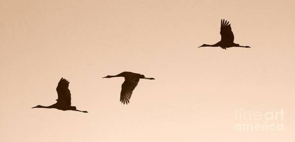 Photograph - Sandhills In Flight In Sepia by Carol Groenen