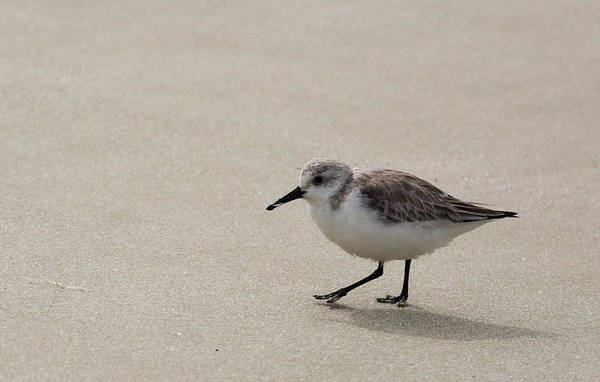 Photograph - Sandpiper At The Beach by Jean Clark