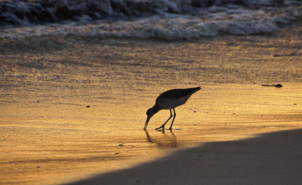 Photograph - Sandpiper In Evening by Sandy Keeton