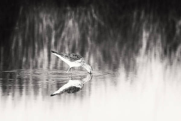 Photograph - Sandpiper by Michael McStamp