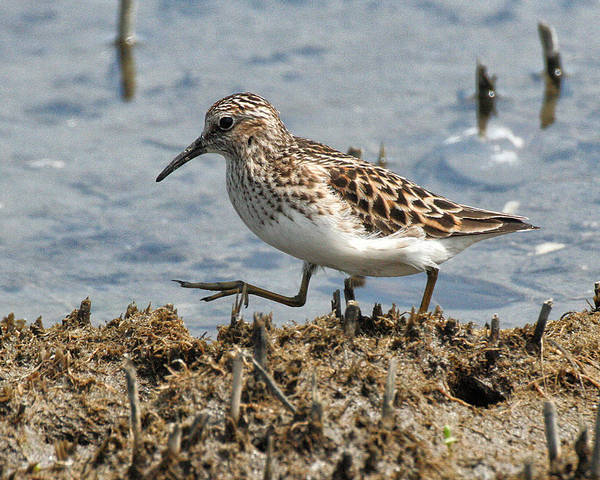 Photograph - Sandpiper Stroll by William Selander