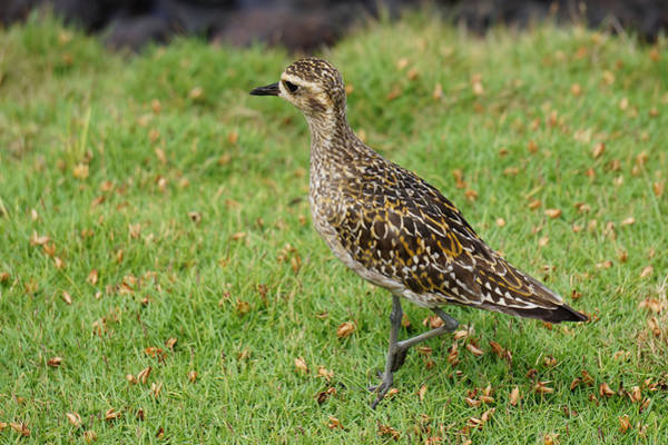 Photograph - Golden Plover Walking by Pamela Walton
