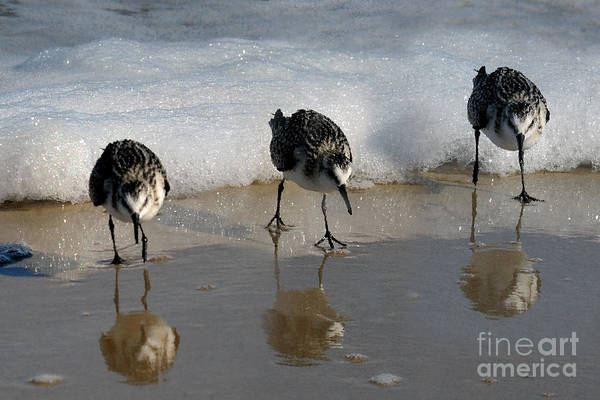 Photograph - Sandpipers Feeding by Dan Friend