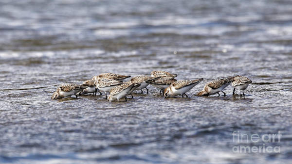Photograph - Sandpipers Heads Down by Sue Harper