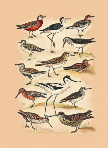 Mixed Media - Sandpipers Snipes And Others by Eric Kempson