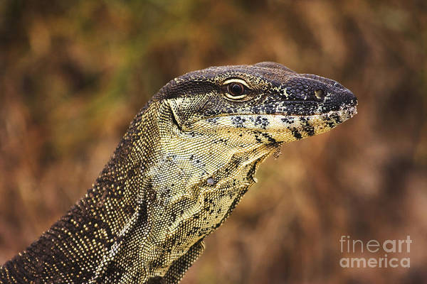 Australian Wildlife Wall Art - Photograph - Sandy Goanna by Jorgo Photography - Wall Art Gallery
