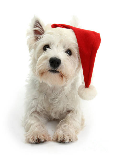 Photograph - Santa Hat Westie by Warren Photographic