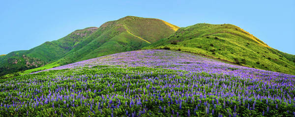 Photograph - Santa Monica Mountains Lupine Panorama by Lynn Bauer