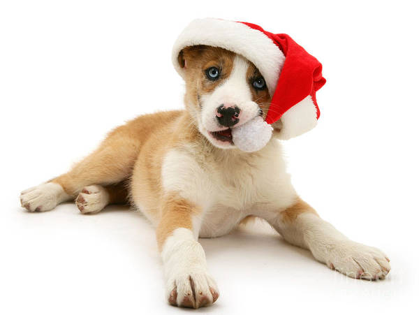 Photograph - Santa Pup by Warren Photographic