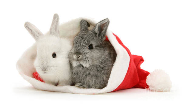 Photograph - Santa's Baby Bunnies by Warren Photographic