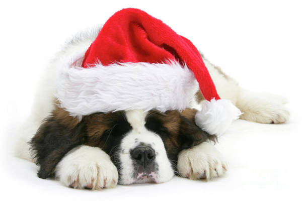 Photograph - Santa's Snoozing Saint Bernard by Warren Photographic