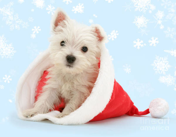 Photograph - Santa's Westie by Warren Photographic