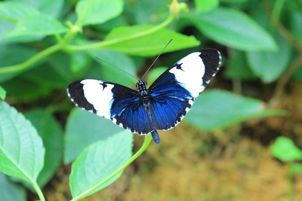 Photograph - Sapho Longwing by Angela Murdock