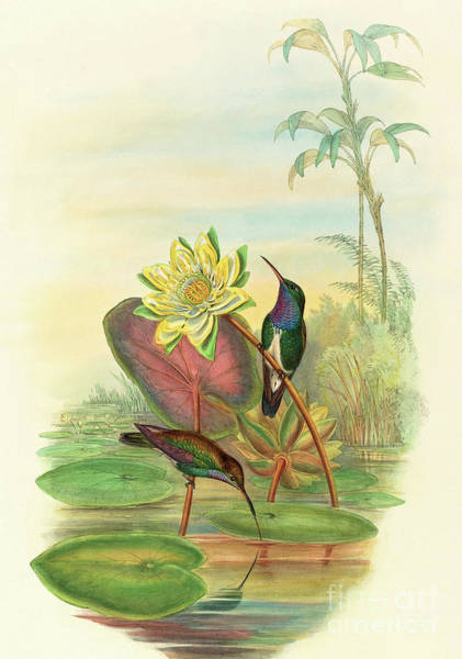 Wall Art - Painting - Sapphire Breasted Emerald by John Gould