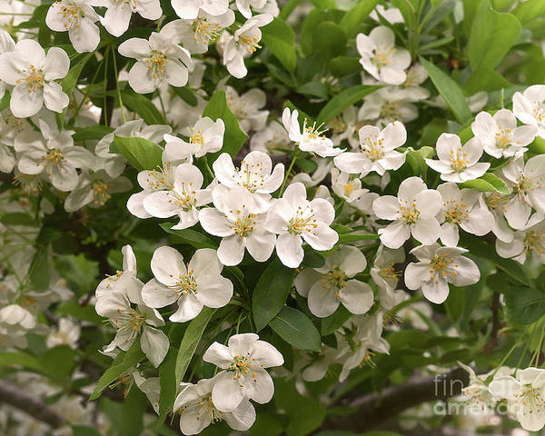 Photograph - Sargent Crabapple by Ann Jacobson