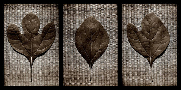 Photograph - Sassafras Leaves With Wicker by Michelle Calkins